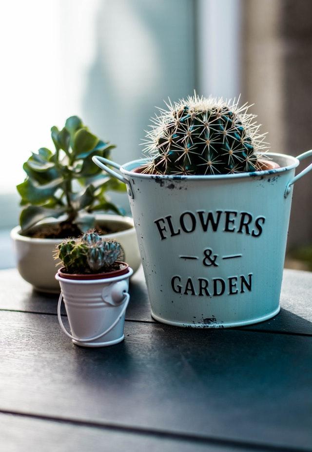 sukulenty kaktus